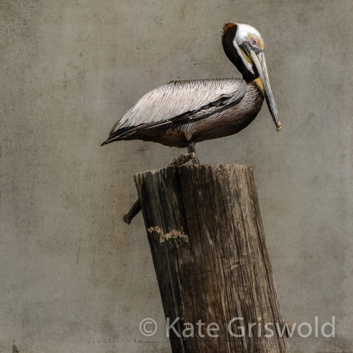 Brown Pelican C-I