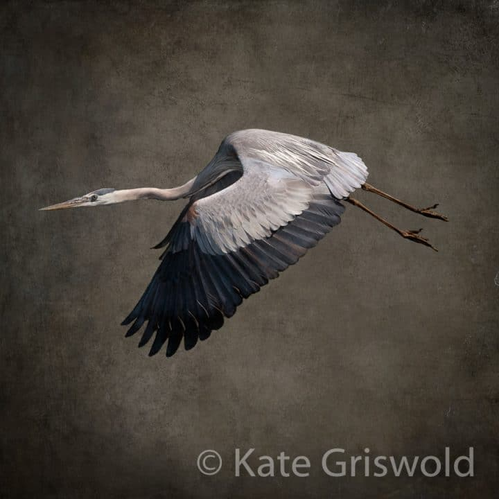 Great Blue Heron C-IV