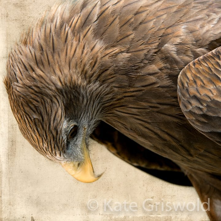 Yellow Billed Kite C-I