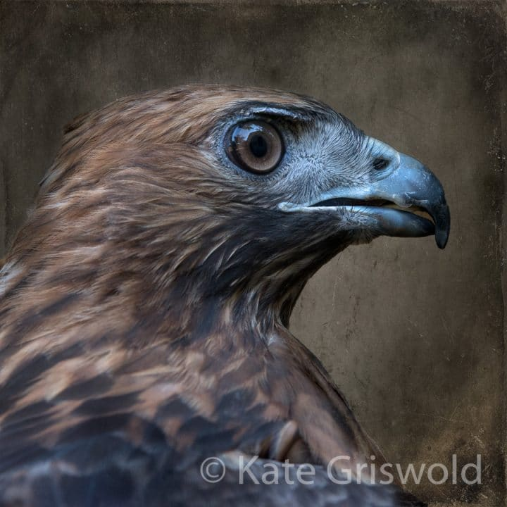 Red Tailed Hawk C-I