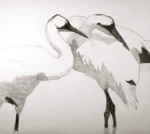 Whooping Cranes - Baraboo