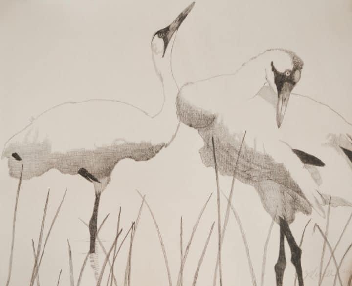 Whooping Cranes in Reeds II