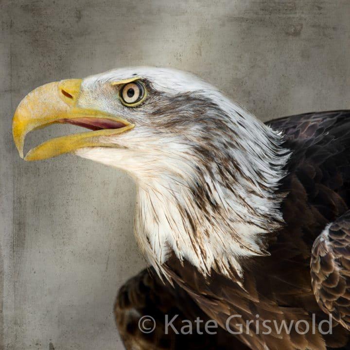 Bald Eagle C-I