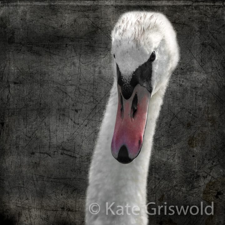 Mute Swan C-I