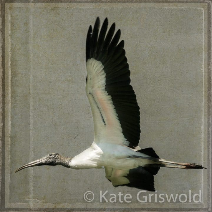 Wood Stork C-I