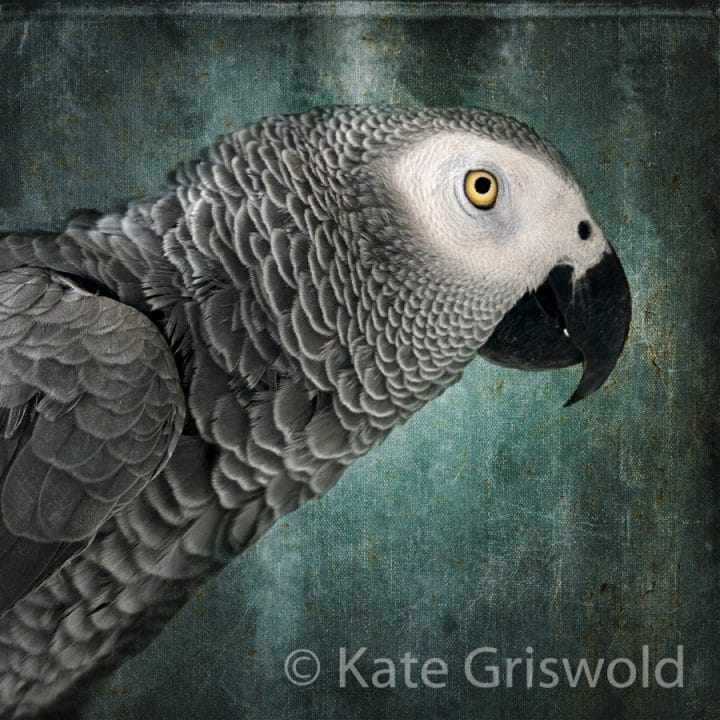 African Grey Parrot C-I