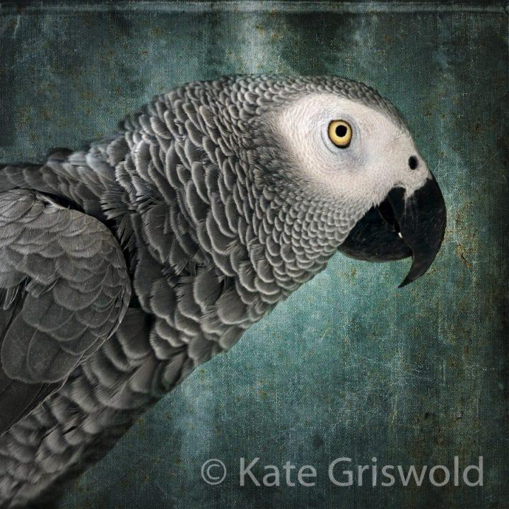 African Grey Parrot C-I