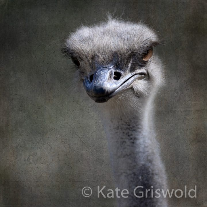 Ostrich C-I