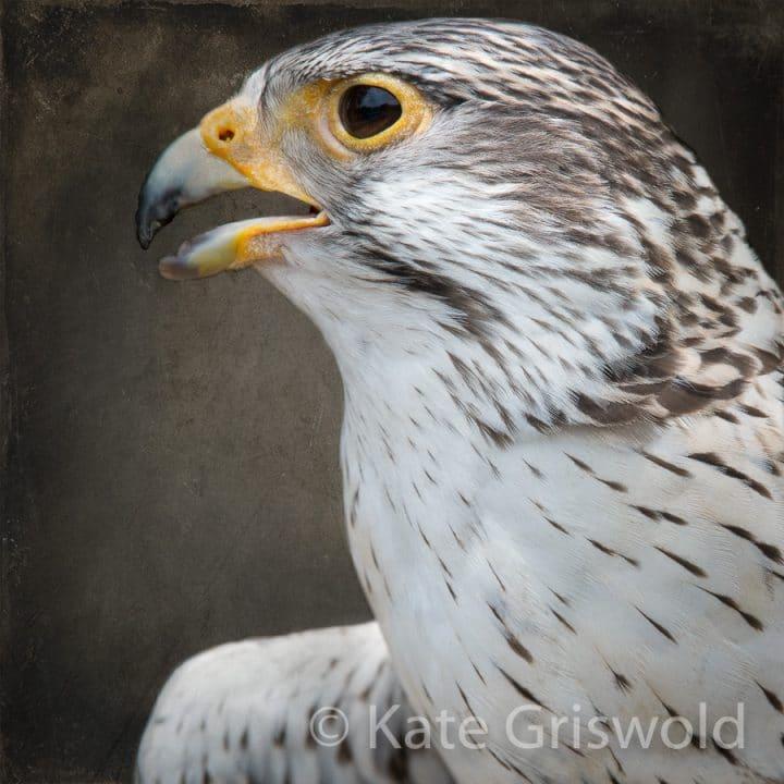 Peregrine Falcon C-I