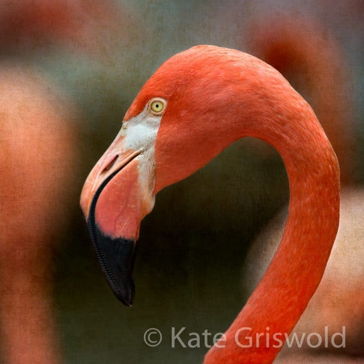 American Flamingo C-VIII
