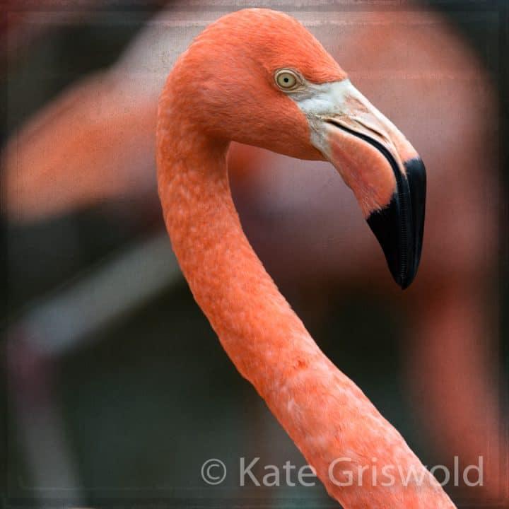 American Flamingo C-VII