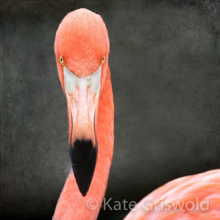 American Flamingo C-IX