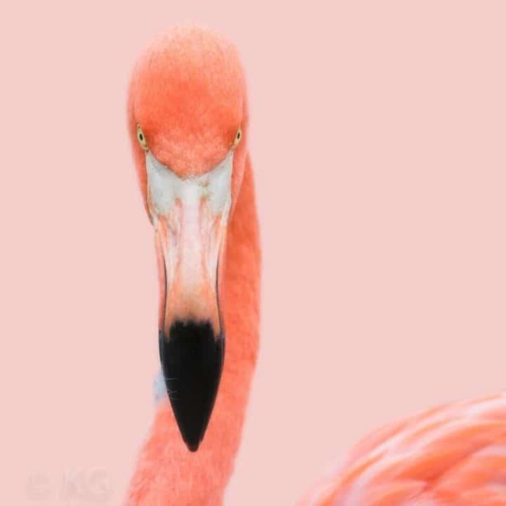 Pink Flamingo II C-I