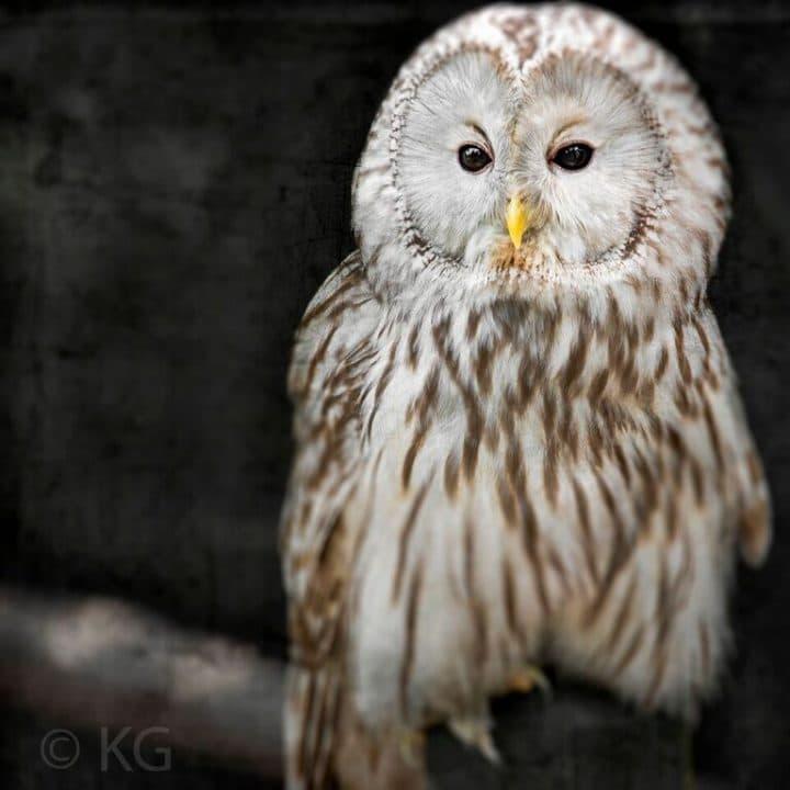 Owl C-III