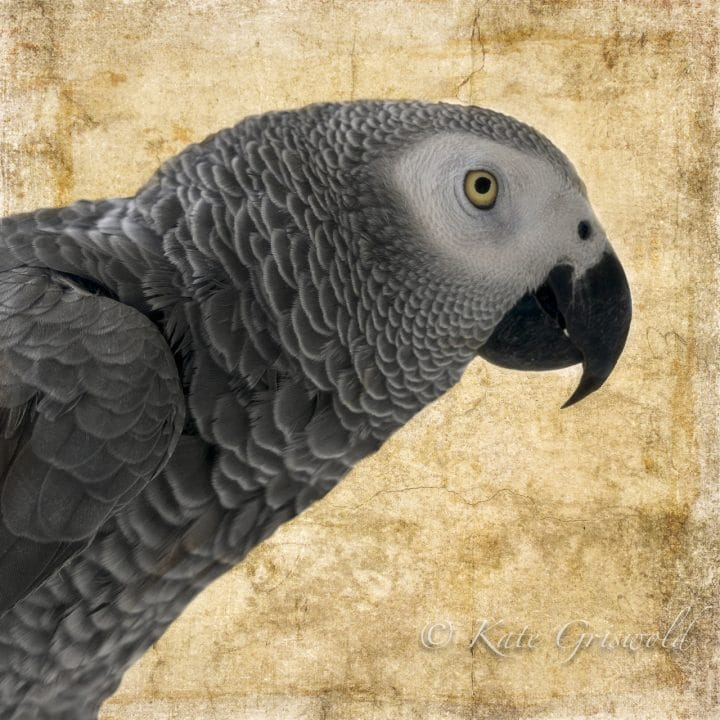 African Grey Parrot on Gold