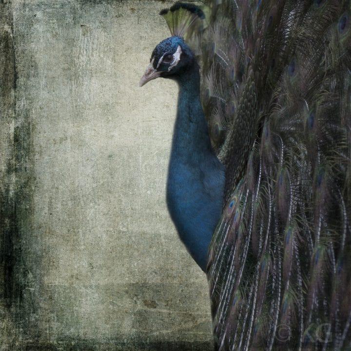Peacock C-I