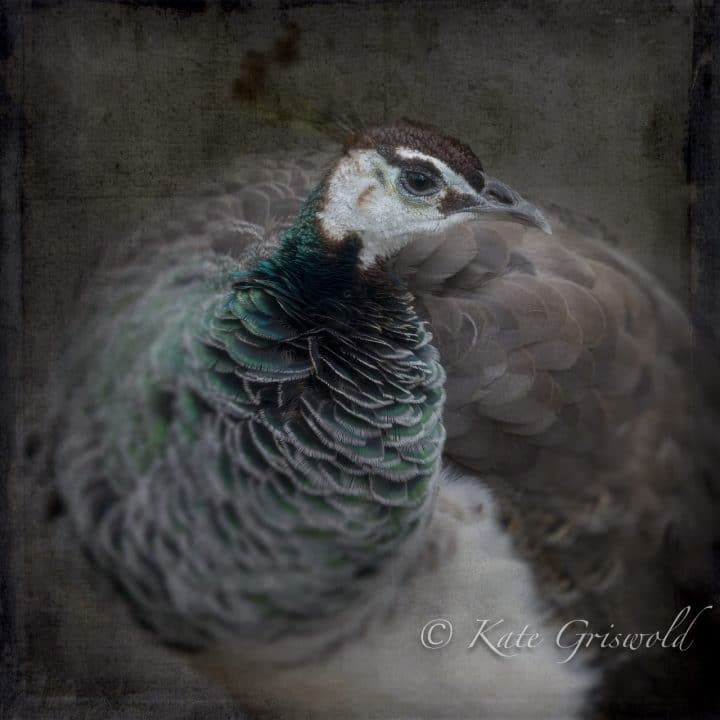 Peahen C-I