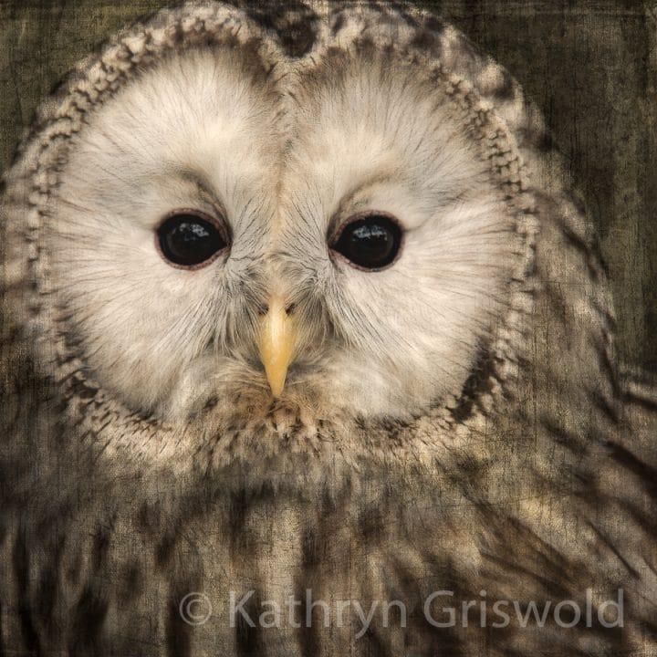 Ural Owl C-II