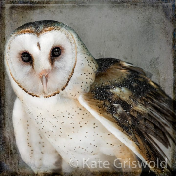 Barn Owl C-I